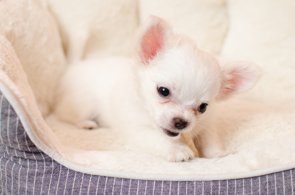 Cute little chihuahua puppy playing in his crib