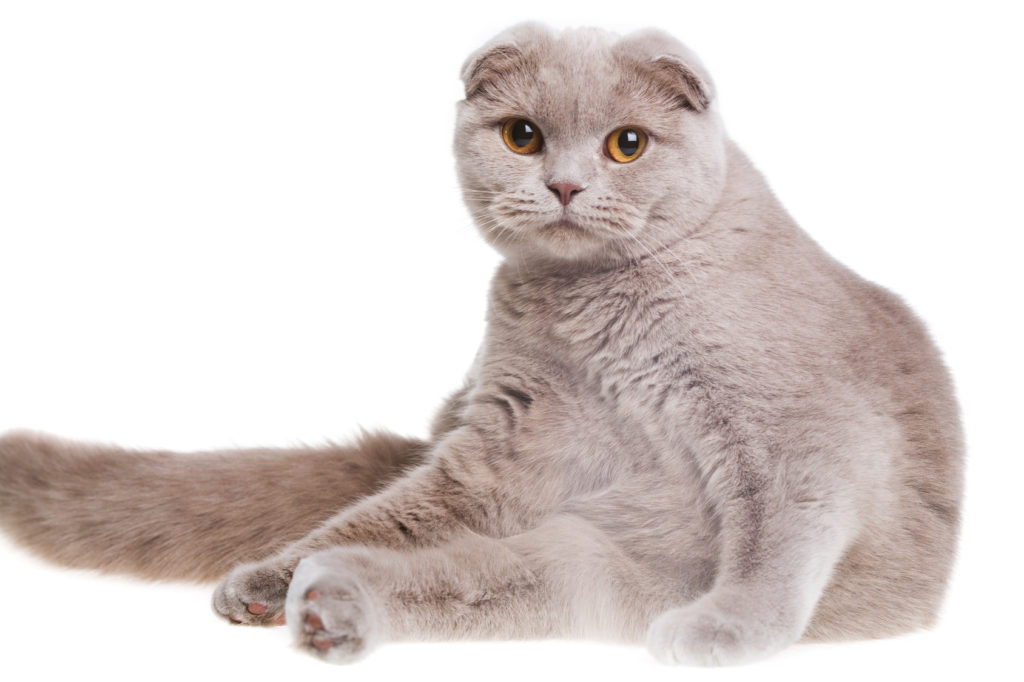 scottish fold sit on white isolated