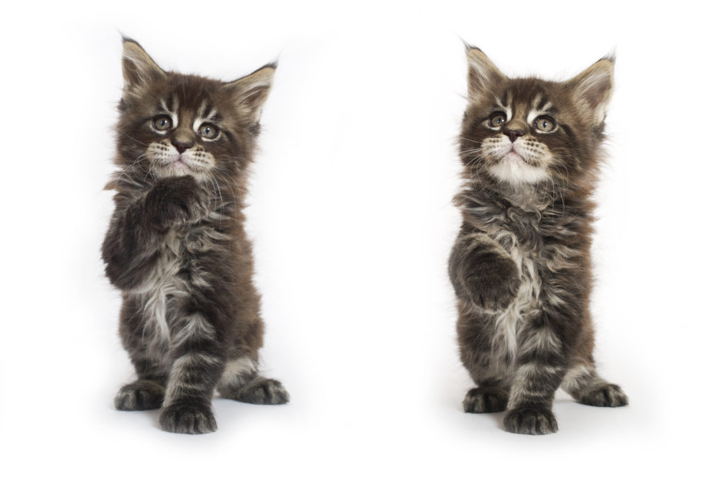 maine coon kittens tabby