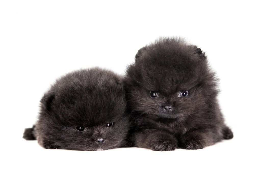 Two Pomeranian Puppies (1,5 mounth) on a white background