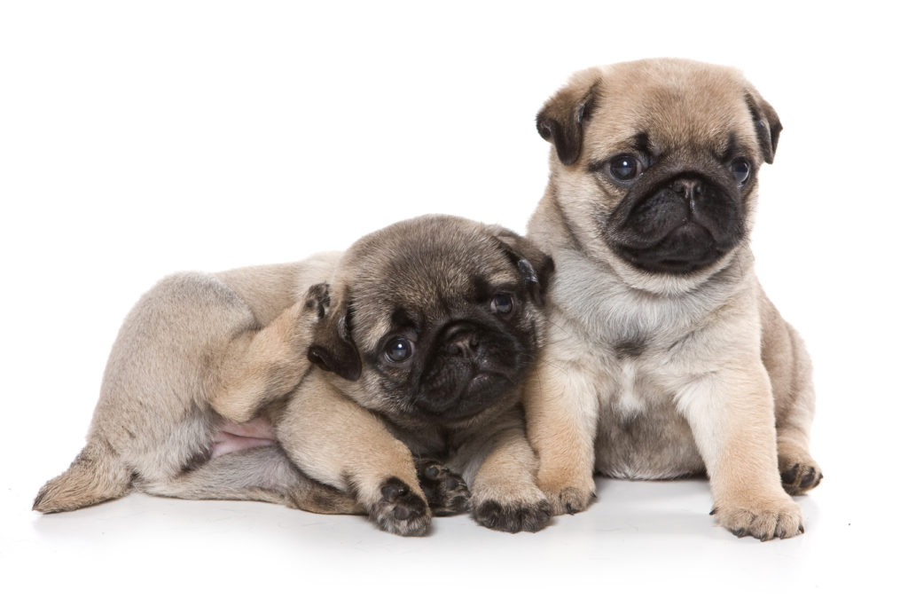 Two pug puppy looking at the camera (isolated on white)