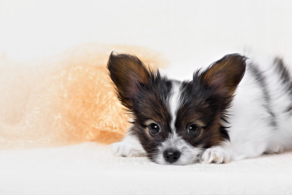 Papillon, ButterflyDog, SquirrelDog in front of a white background