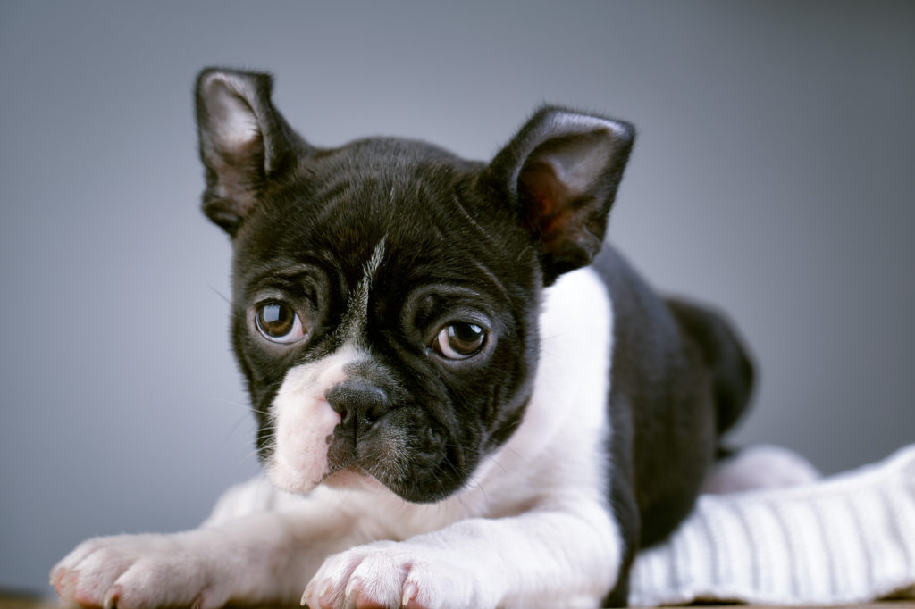 Boston Terrie Puppy