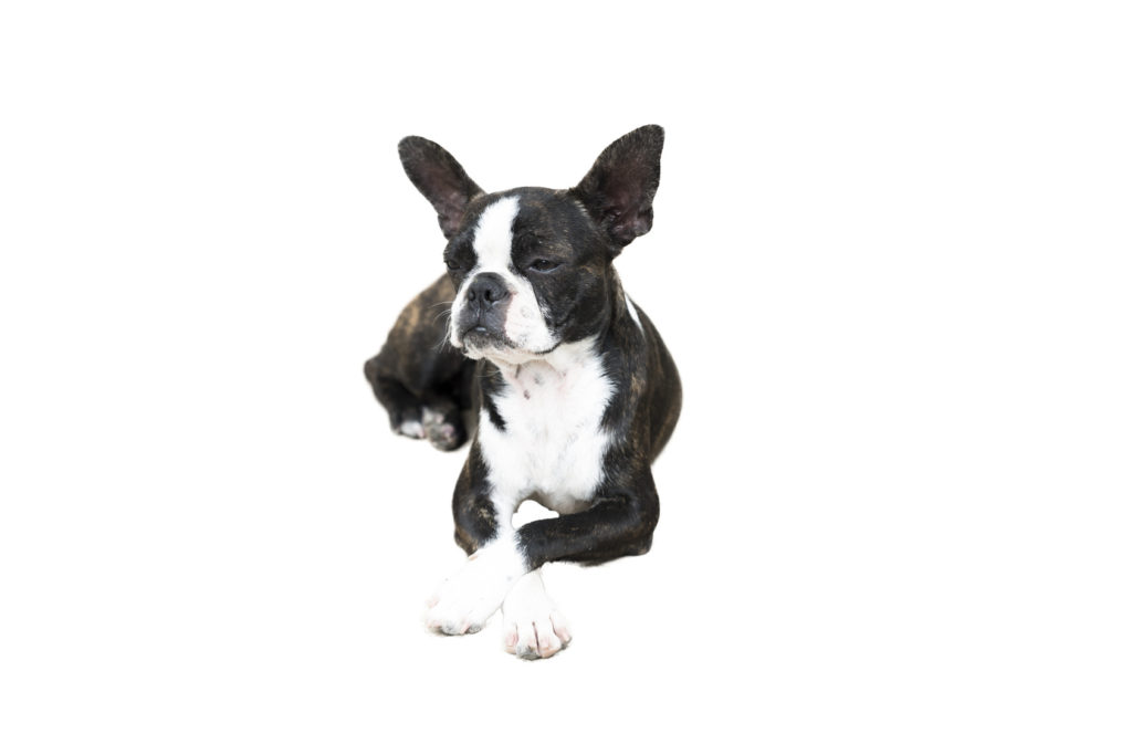 boston terrier isolated on white background