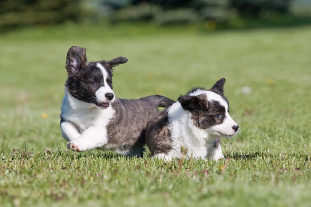 Two cute puppies are playing together