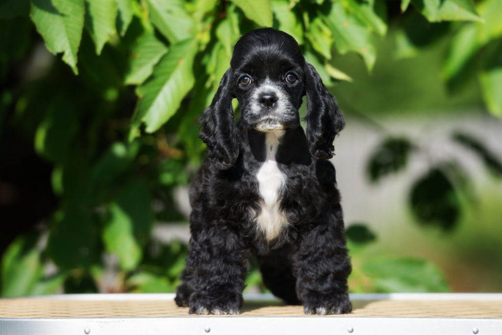 black and white american cocker spaniel puppy standing outdoors