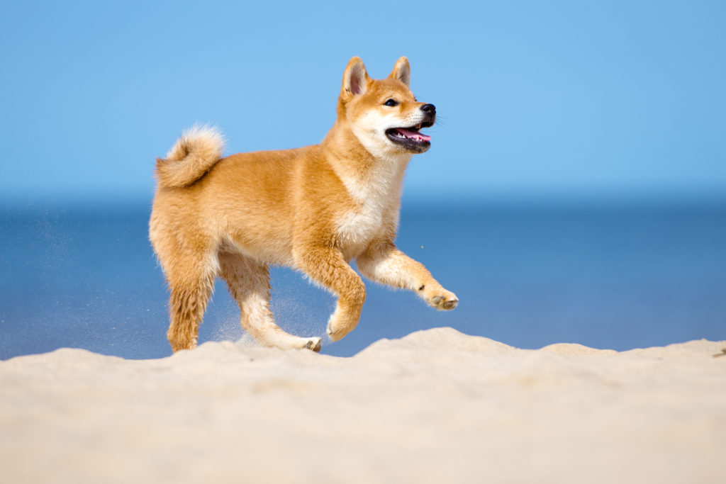 shiba-inu puppy running on a beach