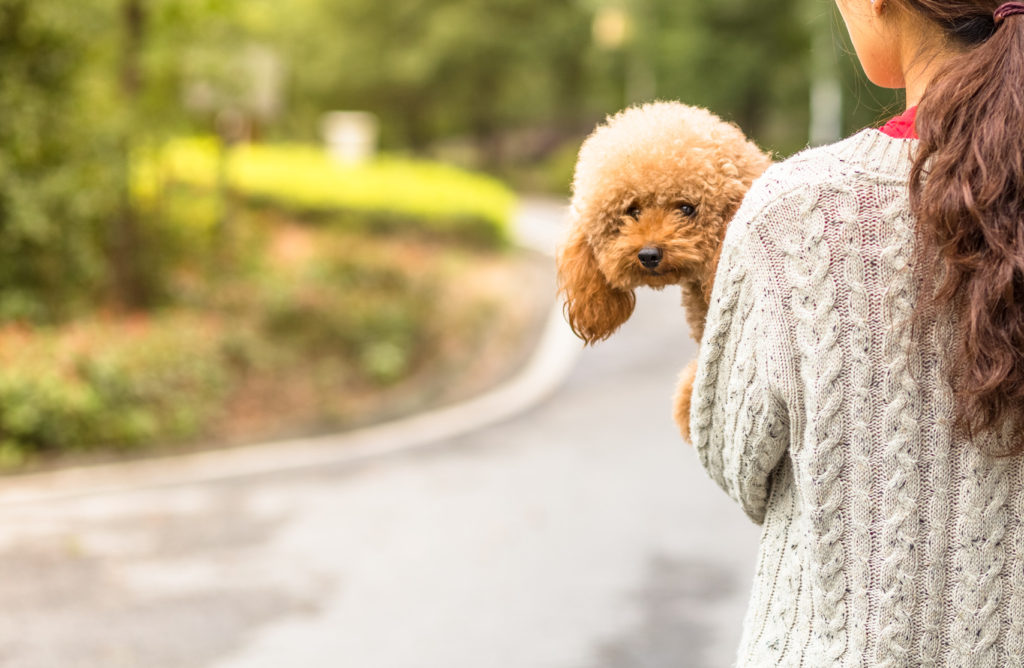 Toy Poodle looking at the camera