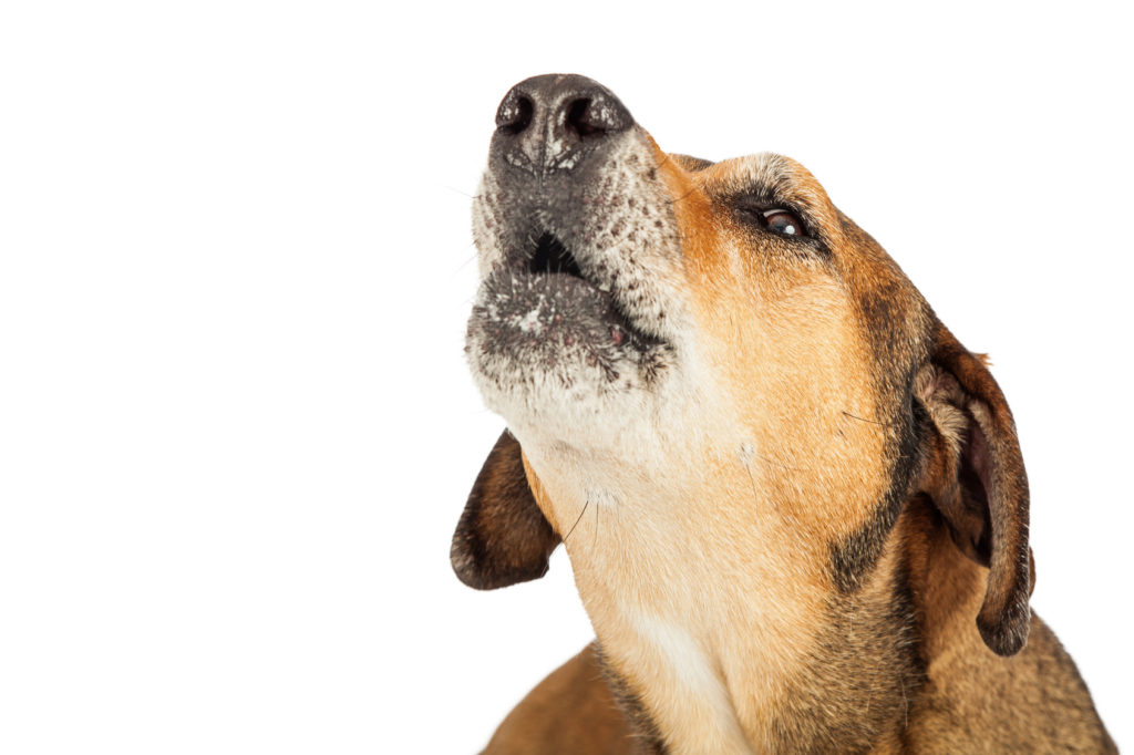 Head Shot Of Large Mixed Breed Dog Howling