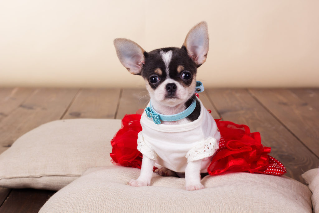 Female chihuahua dog sitting on pillows