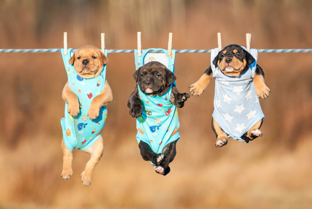 Three american staffordshire terrier puppies hanging on a clothesline